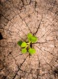 Little tree on Stump Stock Image