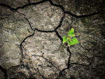 Little tree survive on dry solid ground Royalty Free Stock Photo