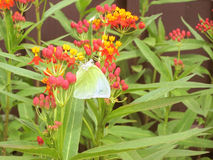 The little Tree Yellow Butterfly sucking nectar from Blood flower Royalty Free Stock Images
