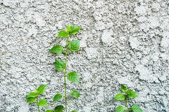 Little trees grow on concrete wall Royalty Free Stock Photos