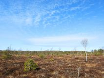 Little trees  in marsh, Lithuania Stock Photos