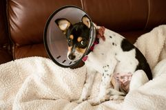 Puppy wearing a clear cone of shame dog collar stock photography