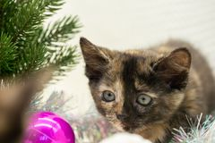Little tricolor kitten hunts near the New Year tree royalty free stock image