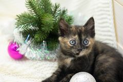 Little tricolor kitten sits near the spruce. royalty free stock photography