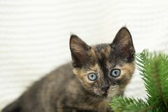 Little tricolor kitten sits near the spruce. stock image