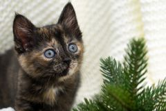 Little tricolor kitten sits near the spruce royalty free stock photos