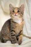 Little tricolor kitten sitting Royalty Free Stock Photos