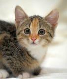 Little tricolor kitten sitting Royalty Free Stock Photo