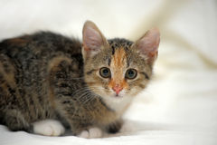 Little tricolor kitten sitting Royalty Free Stock Images