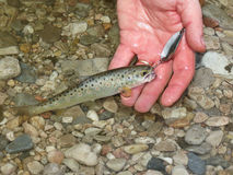 Little trout caught by fisherman Royalty Free Stock Photos