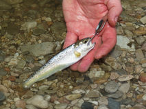 Little trout caught by fisherman Royalty Free Stock Images