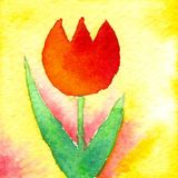 Little Tulip. Watercolor painting, created and painted by the photographer Stock Photography