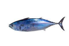 Little tunny tuna fish Euthynnus affinis on white