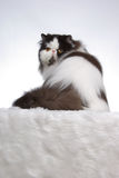 Little Turn on the Catwalk. A black and white persian cat sashaying in a studio setting Stock Image