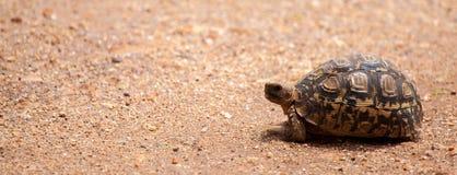 Turtle walking over the road, on safari in Kenya Stock Photos