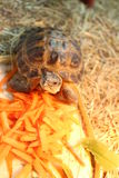 Little turtle. Eats carrot and apple Royalty Free Stock Image