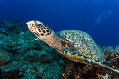 Little turtle face Stock Images