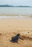 Little turtle go oceans Royalty Free Stock Photography