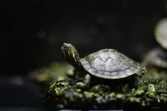 Little turtle - green and yellow (pseudemys) Stock Photos