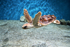 Little Turtle. This little guy can be seen cruising around his tank at the Monterey Bay Aquarium Royalty Free Stock Photography