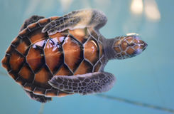 Little turtle. Help nature conservation For the environment and nature Stock Image