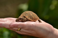 Little turtle Stock Images