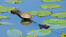 Little turtle in pond in Volkspark Enschede Royalty Free Stock Photo