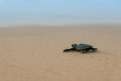 Little turtle Royalty Free Stock Photography