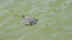 Little turtle swimming in a river in a natural park stock footage