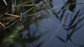 Little Turtle in water. A grass floating in water alongside by a tortoise stock video