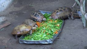 Little turtles in Asia eating fresh vegetables. On the ground stock footage