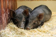 Little two black pigs lie near on the farm. Pig love. Piglets grunt in contact zoo. 2019 Chinese New Year stock photos