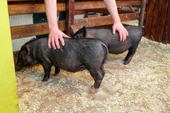 Little two black pigs lie near on the farm. Pig love. Piglets grunt in contact zoo. 2019 Chinese New Year royalty free stock image