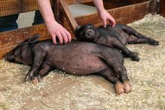 Little two black pigs lie near on the farm. Pig love. Piglets grunt in contact zoo. 2019 Chinese New Year royalty free stock photography