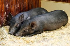 Little two black pigs lie near on the farm. Pig love. Piglets grunt in contact zoo. 2019 Chinese New Year royalty free stock images