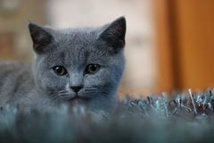 British shorthair on watch stock images