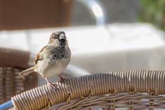 Little urban sparrow. Little sparrow on a chair in a sunny day Stock Photos