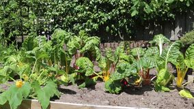 Urban vegetable garden. Little urban vegetable garden with colorful rainbow chard in different colors in the sun and moving through the wind in the sun stock footage