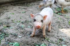 little Vietnamese piglet on a farm. cute little pig looking at the camera stock photos