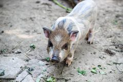 Little Vietnamese piglet on a farm. cute little pig looking at the camera. Little piglet playing outdoors. little Vietnamese piglet on a farm stock images