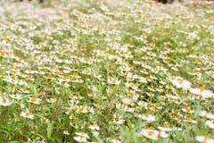 Little vit blomma med gul pollen arkivbilder