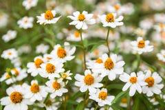 Little vit blomma med gul pollen Royaltyfri Bild