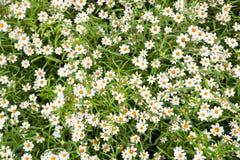 Little vit blomma med gul pollen arkivbild