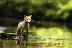 Little vixen of red fox on stone in river - Vulpes vulpes Royalty Free Stock Images