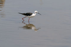 Little wading bird Royalty Free Stock Images