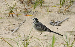 Little wagtail bird Stock Image