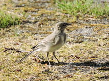 Little wagtail bird Royalty Free Stock Image