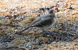 Little wagtail bird Stock Photography