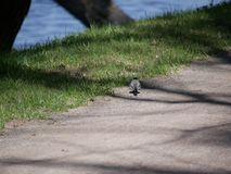 Little Wagtail looking for insects on a dirt path in the city Park on a Sunny spring day. Little Wagtail looking for insects on a dirt path in the city Park on stock images