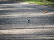 Little Wagtail looking for insects on a dirt path in the city Park on a Sunny spring day. Little Wagtail looking for insects on a dirt path in the city Park on royalty free stock photography